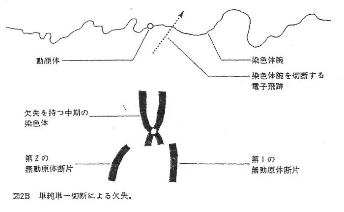 ゲンパツ 染色体図 2