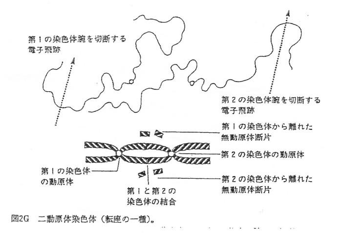 ゲンパツ 染色体図 1