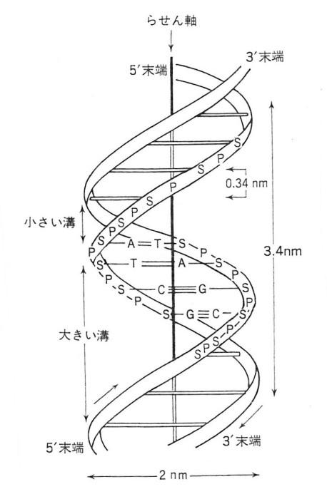 ゲンパツ 染色体螺旋階段