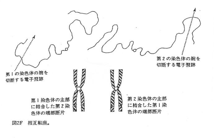 ゲンパツ 染色体図 3